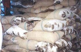Muffe su sacchi di cacao